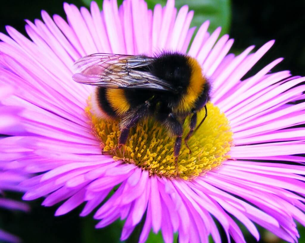 A bumblebee sitting in the center of a pink flower