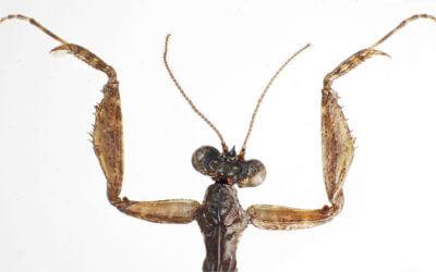 Polyneoptera