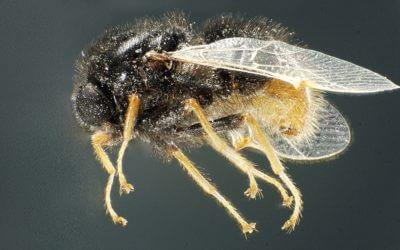 Diptera & Strepsiptera